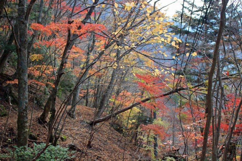 <p>Fiery foliage along an abandoned trail above Mitarai Falls</p>