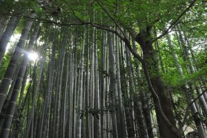 The filtering canopy of the bamboo grove