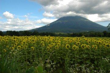 Sunflowers saluting Mt. Yotei
