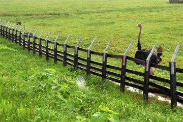Niseko Ostrich ranch... really!!!