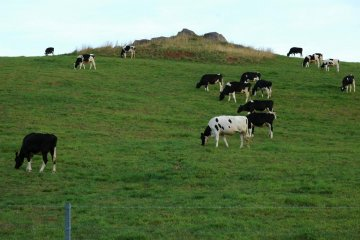 Niseko cows in Hanazono
