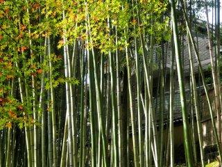 Daun maple di balik bambu
