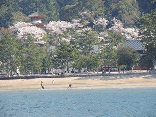 """Vue sur la """"plage"""" et les cerisiers en fleurs depuis le Ferry"""