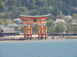 L'île est considérée dans la religion shintoïste, comme une île sacrée. Il n'y a ainsi ni naissance ni décès sur l'île. Comme il est interdit d'y abattre des arbres, Miyajima est couverte d'une forêt luxuriante