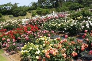 Aneka warna dan jenis bunga mawar