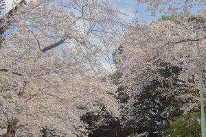 元町公園の桜並木