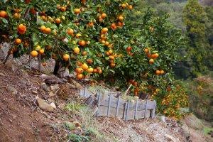 ต้นส้มที่ปลูกเรียงรายไปตามแนวเขา