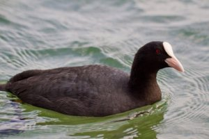The Eurasian Coot is a common visitor