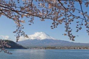 เมื่อภูเขาสวยๆ อย่างภูเขาฟูจิพบกับดอกซากุระสีชมพูสดใส จะมีที่ใดที่งดงามไปกว่านี้