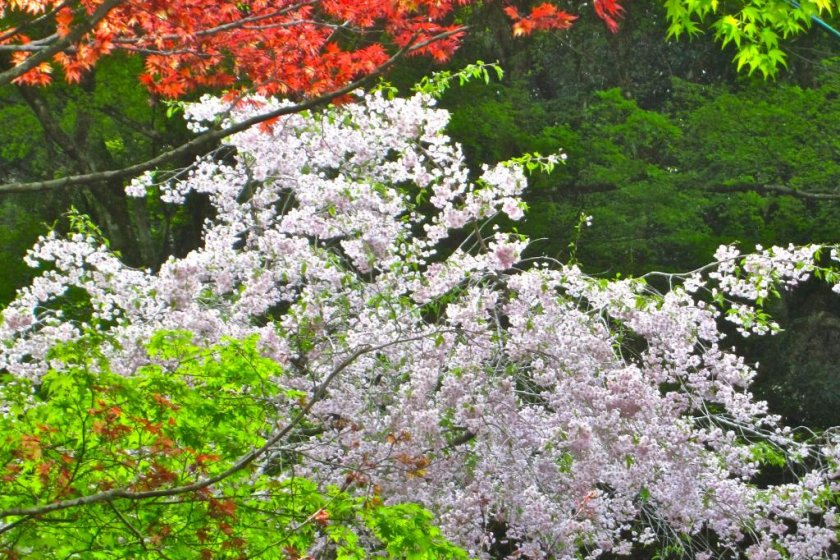 Sakura, koyo and spring green leaves