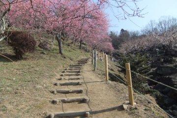 筑波山初春时节开放的梅花