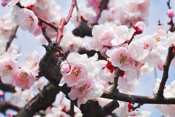 ข้อแตกต่างระหว่างดอกพลัมกับดอกซากุระ