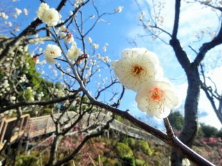 Sunlight filters through the few early blooming plum trees