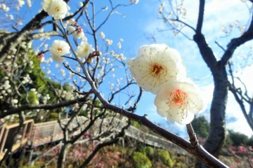 햇살은 몇 그루 안 되는 매화꽃을 통과한다
