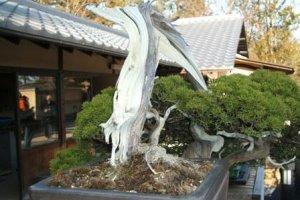 180 year old bonsai