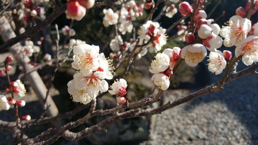 Bunga plum pertama musim ini!