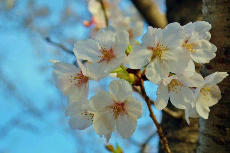 Bunga Sakura di Taman Shukugawa