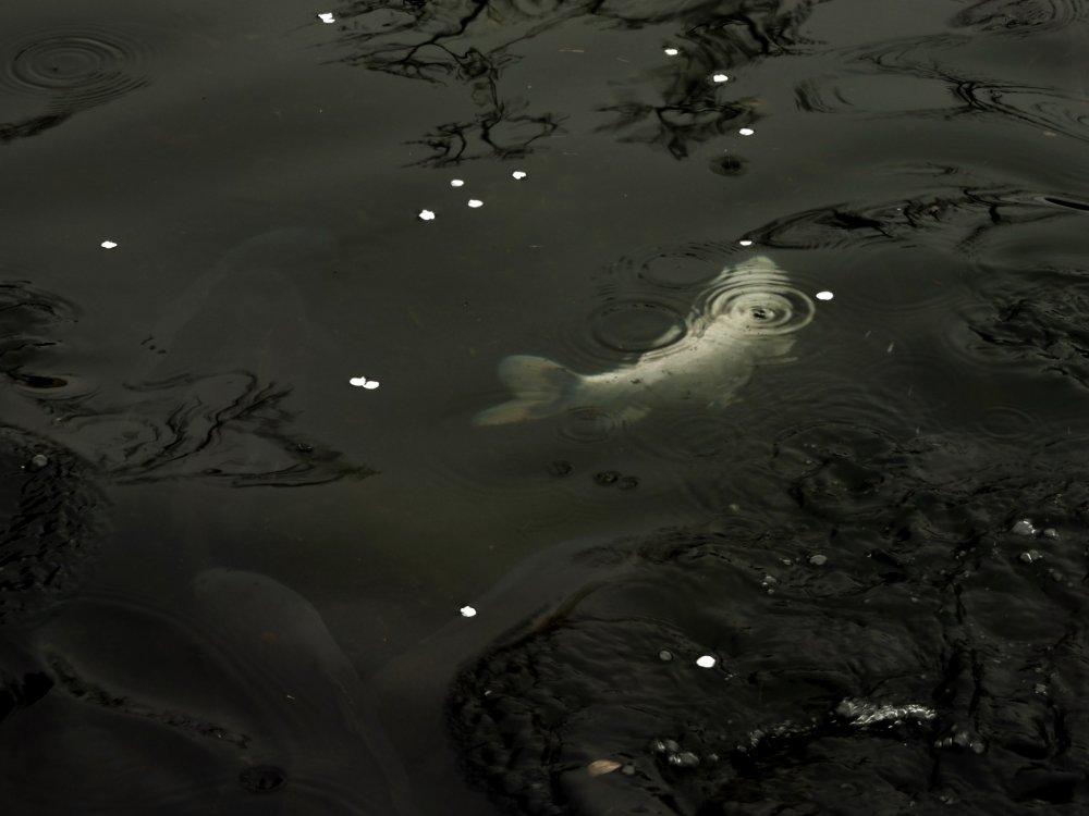 A white koi swims beneath floating petals