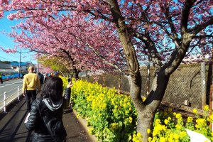 Kawazu-Zakura and Mustard Blossoms