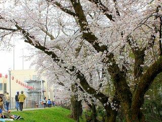 Sakura yang mekar sempurna