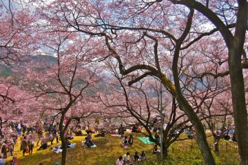 The hanami/picnic area