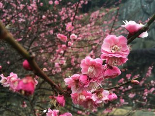 Plum blossoms were in full bloom in late February.