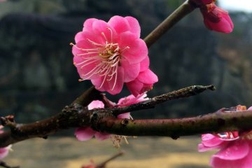 Plum Blossoms and Buddha