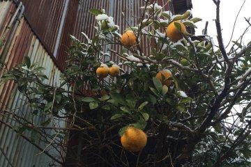 A strange sight -- oranges with snow on them.
