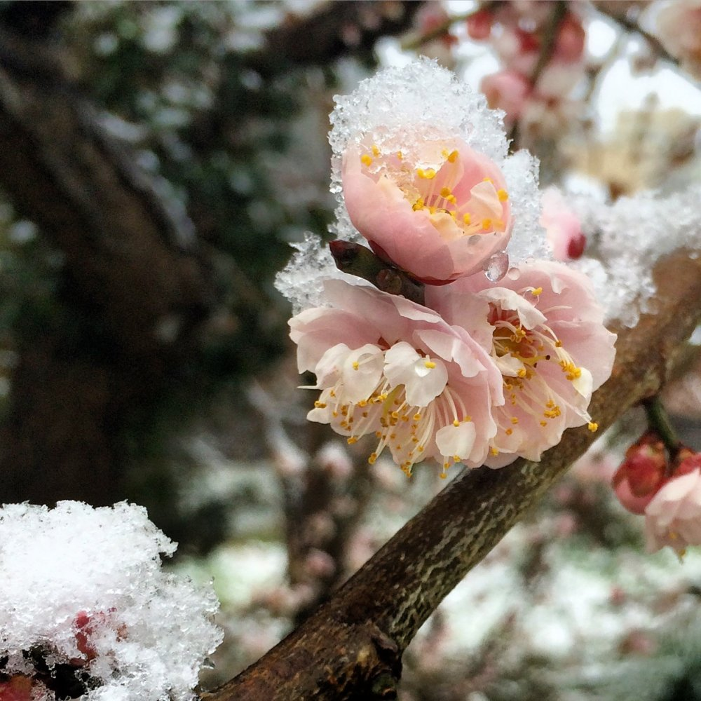 Plum blossoms dusted with snow.