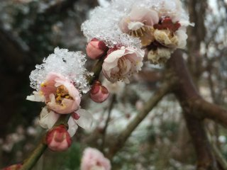 Chilly plum blossoms.
