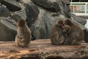 Japanese macaques on display at Joyama Zoo