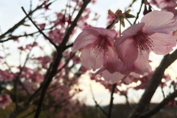 Evento de Fotografia de Sakura da JapanTravel