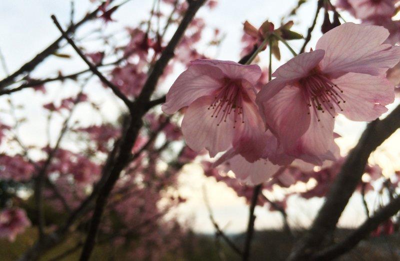 Sakura season usually comes in Chiba in April.