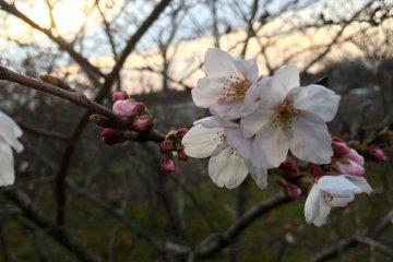 Another type of sakura.