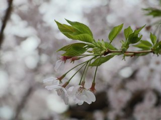 Buket sakura