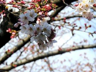 Flores de cerejeira num dia de céu limpo em Haruki