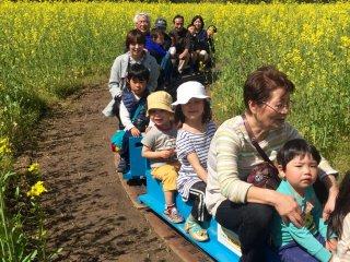 이 미니 SL 기차는 나노하나의 금빛밭 사이사이를 지나간다 (요금은 100엔)