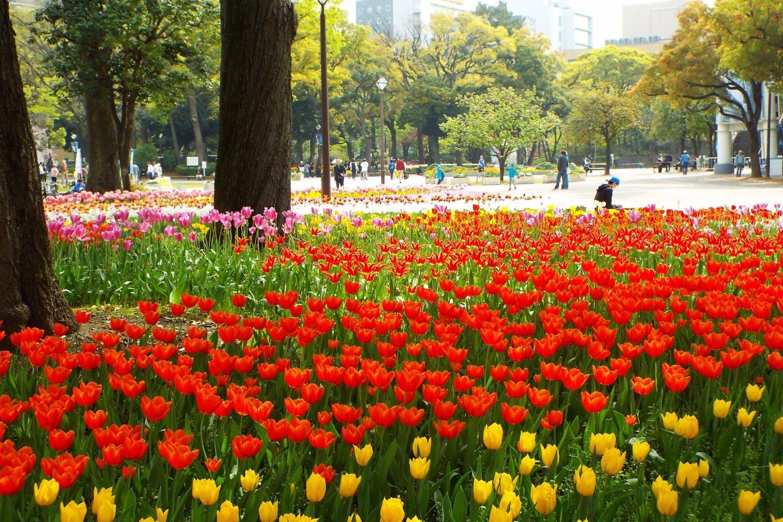 Yokohama Park - Tulip field