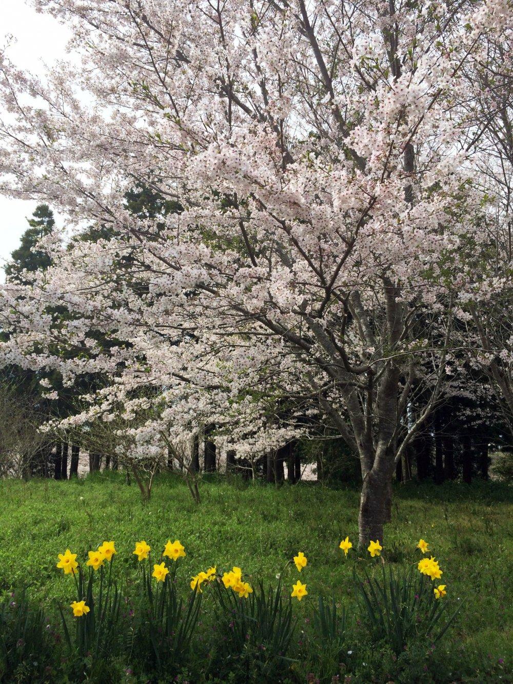 Sakura Chiba Japan