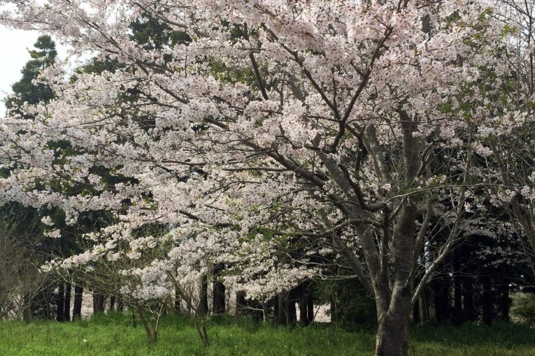 Hoa anh đào ở công viên Tenjinyama - Phần 1
