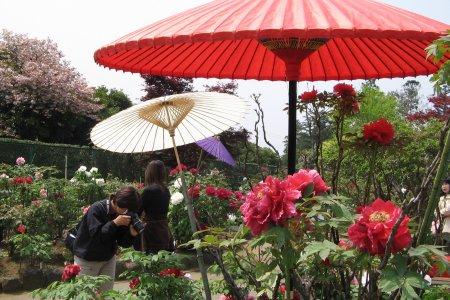 쓰쿠바의 일본 작약 정원