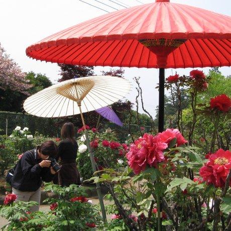 Taman Peony Jepang di Tsukuba