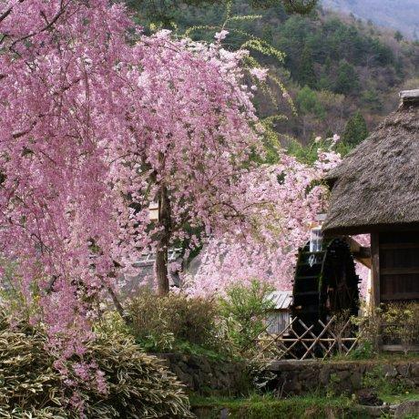 Sakura em Iyashi no Sato Nenba