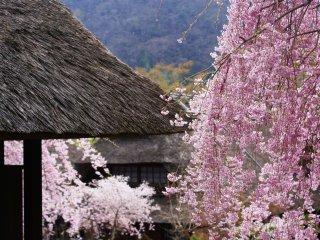 Flores de cerejeira junto a um telhado de colmo