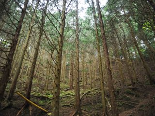 Slender Japanese cypress trees