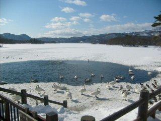 Os cisnes locais não têm muito lago por onde nadar