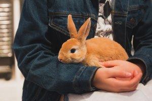 A cute ginger rabbit