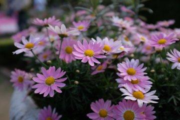 粉嫩野菊花