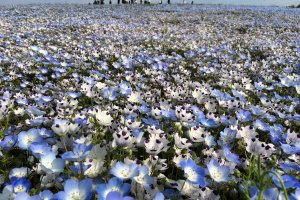 There were two types of nemophila.