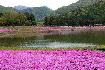 於湖邊綻放的桃紅色芝櫻:McDaniel's Cushion